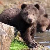 Kamtschatka-Braunbären