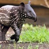 Tapirbaby im Gondwanaland
