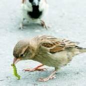 Die Spatzen fressen den Buchsbaumzünsler