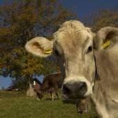 Die Rehabilitierung der zur Sau gemachten Kuh