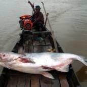 Mekong-Riesenwels durch Mega-Staudamm bedroht