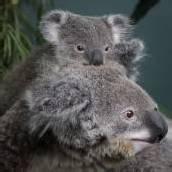 Verschmuste Koalas