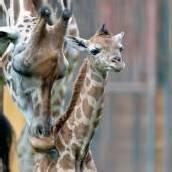 Giraffenbaby in Schönbrunn
