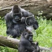 Zwillinge für Gorillamama NGayla
