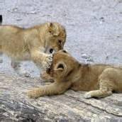 Kleine Löwenbabys toben sich aus