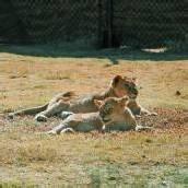 Gerettete Löwenmädchen auf dem Weg der Besserung