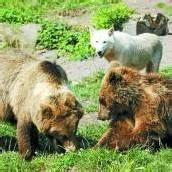 Braunbär Balu tötet Polarwolf vor Besuchern