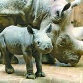 Nashorn-Baby