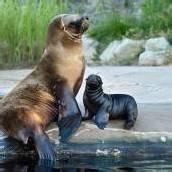 Nachwuchs bei Robben im Tiergarten