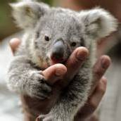 Zuckersüßer Koala