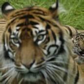 Tigerbaby genießt seinen Mittagsschlaf