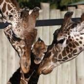 Verschmuste Giraffen-Familie
