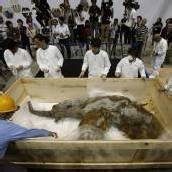 Mammut reiste im Holzcontainer