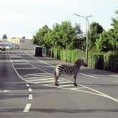 Zebra spazierte durch Bitburg