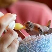 Känguru-Baby wird von Hand aufgezogen