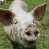 Feine Schweinereien frisch auf den Tisch