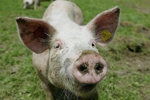 Ländle-Alpschwein: Mehr Genuss durch gesunde Aufzucht. Foto: vn
