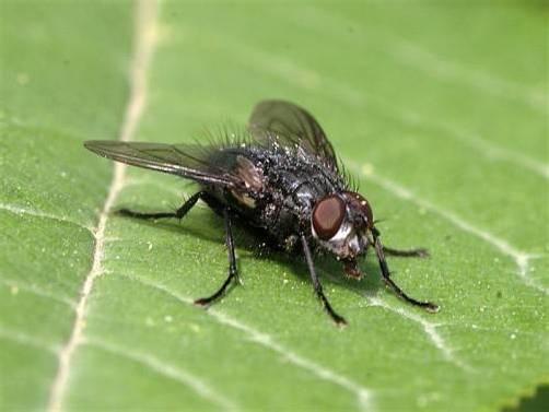 Fliegen sind derzeit in Massen unterwegs. Nicht immer zur Freude der Menschen. Den Insekten kommt das vorherrschende Wetter zugute. Inatura, DPA, APA