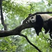 Pandabär macht Pause