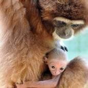 Gibbon-Nachwuchs im Ulmer Tiergarten