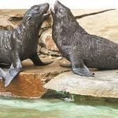Doppelter Nachwuchs bei den Seebären