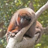 Affen kreischen sich präzise Warnungen zu