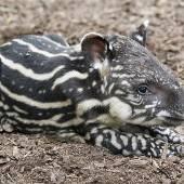 Tapir-Baby Gideon