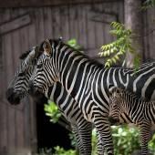 Zebra-Familie