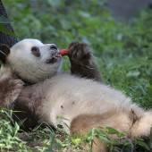 Panda-Pause