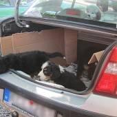 Illegaler Hundeimport: Welpen in Quarantäne