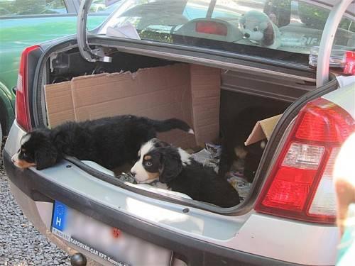 Illegaler Handel: Immer wieder werden Hundewelpen im Kofferraum transportiert. Foto: Symbol/vier pfoten