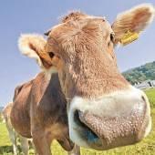 Rinder-TBC in der Ostschweiz