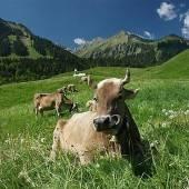Rinder-TBC und kein Ende