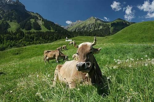Kühen tut der Aufenthalt auf der Alpe gewöhnlich gut. Nur sollten sie dort nicht mit Wild in Berührung kommen. Foto: VN