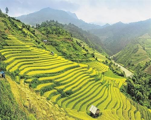 Leuchtend grüne Reisfelder prägen Vietnams Landschaftsbild. Foto: john bill