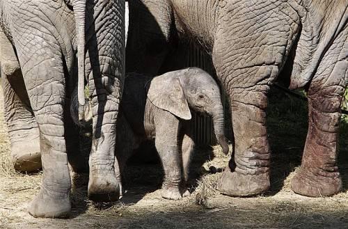 Noch hat das Elefantenmädchen keinen Namen – darüber soll laut Tierpark per Onlinevoting entschieden werden. Foto: EPA