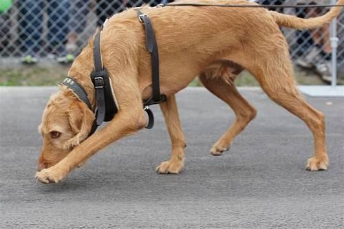Polizeihund Lupo spürte einen Vermissten auf. Foto: KAPO SG