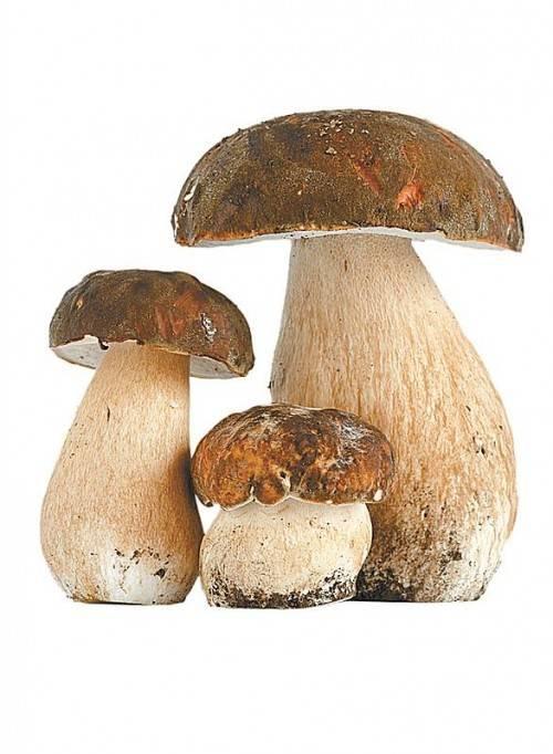 Steinpilz Aussehen: großer, festfleischiger Pilz mit hell- bis dunkelbraunem Hut, der bis zu 20 cm breit wird. Vorkommen: Juli bis Oktober im Nadelwald, aber auch im Laubwald.