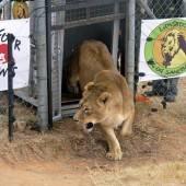Ein neues Leben für Tiger und Löwen