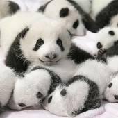 14 Panda-Babys im chinesischen Chengdu