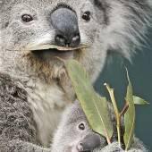 Ein bisschen Eukalyptus geht noch