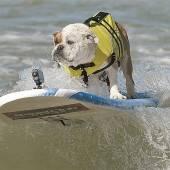 Hunde, die auf Brettern surfen