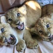 Drei kleine Löwenbabys in Magdeburg
