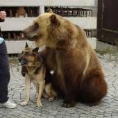 Grizzlybär bei Kontrolle in Lastwagen entdeckt