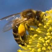 Sammelaktion für heimische Bienen