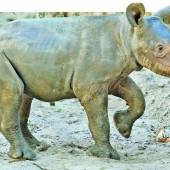 Leipziger Nashorn-Baby heißt jetzt Samia