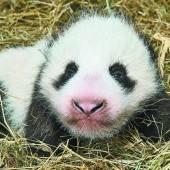 Panda entwickelt sich prächtig