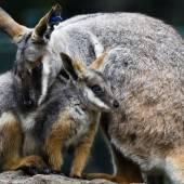 Känguru-Nachwuchs im Tierpark Berlin