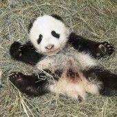 Panda-Bub heißt Fu Bao