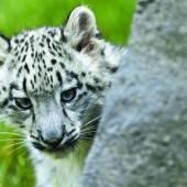 Schüchternes Leopardenbaby